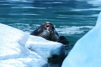 Bearded seal