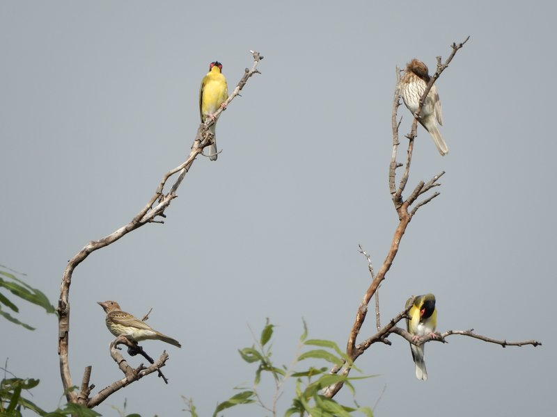 Figbird Family - Cooktown