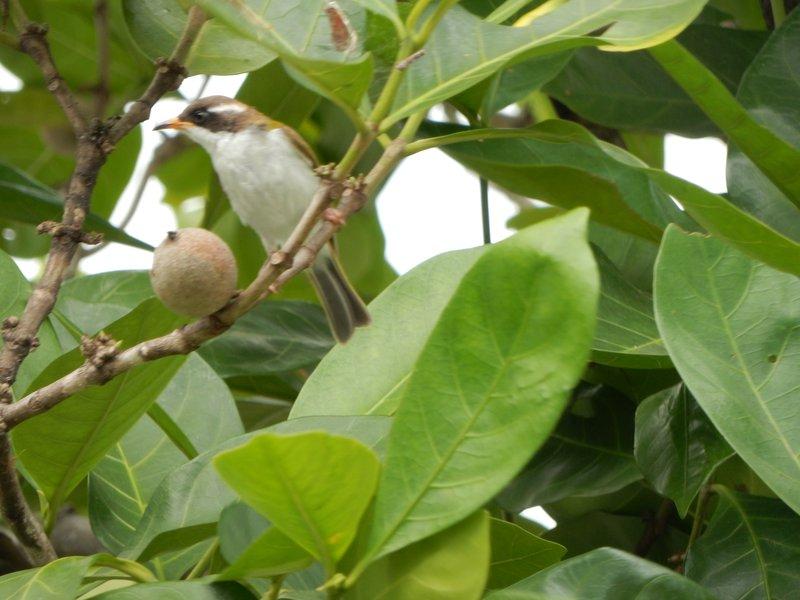 White-Throated Honeyeater - Cooktown