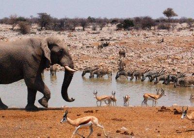 Elefant ved vandhul