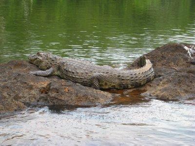 Krokodille__1_.jpg