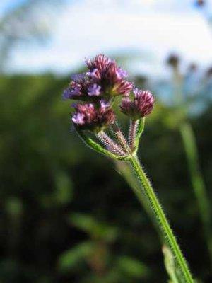 coromandel flower 2