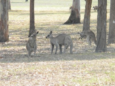 Finally Kangaroos
