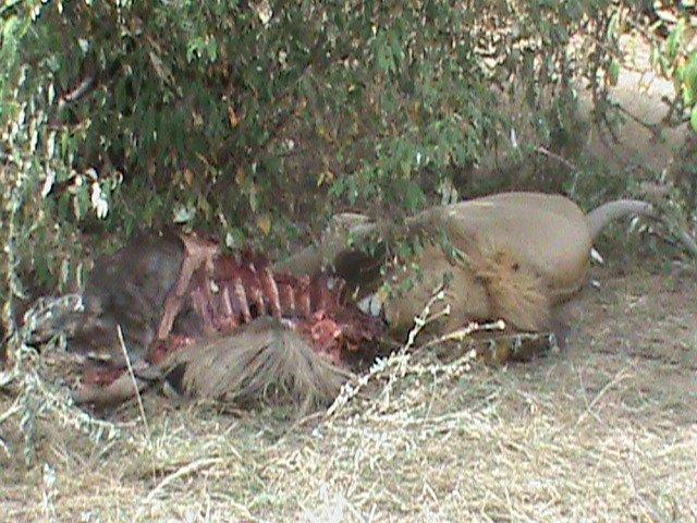 Lion with Dead Wildebeest