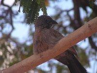 Apostle_Bird.jpg