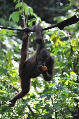 Orang Utan Hanging with a Melon