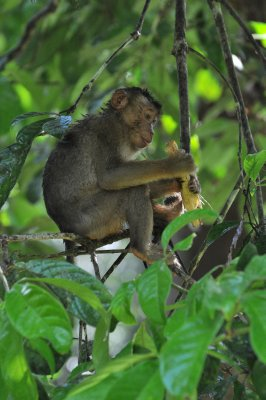 Little Pig Tailed Macaque