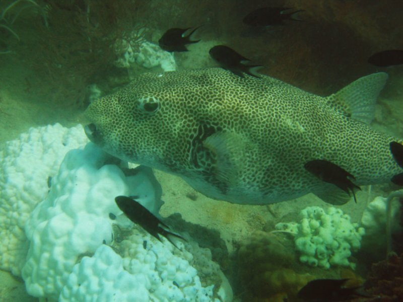 bleached-coral-puffer