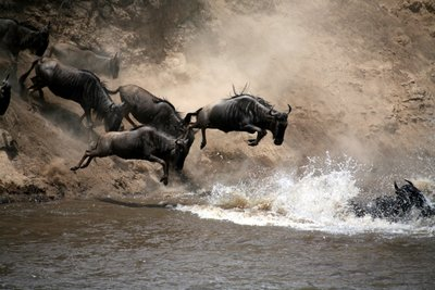 Masai Mara Wildebeest Migration