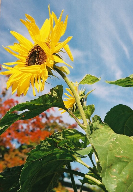 Ottawa Sunflower