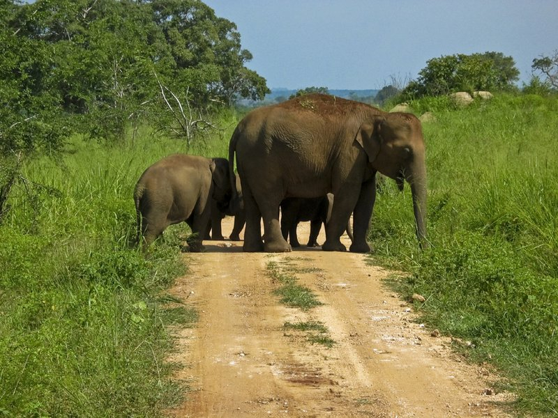 Road Crossing Elephants at Minneriya National Park