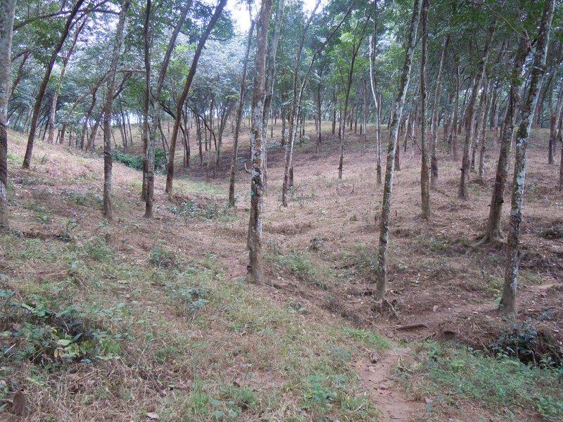 large_rubber_plantation.jpg