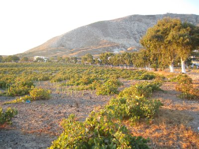 A Santorini Vineyard at Sunrise