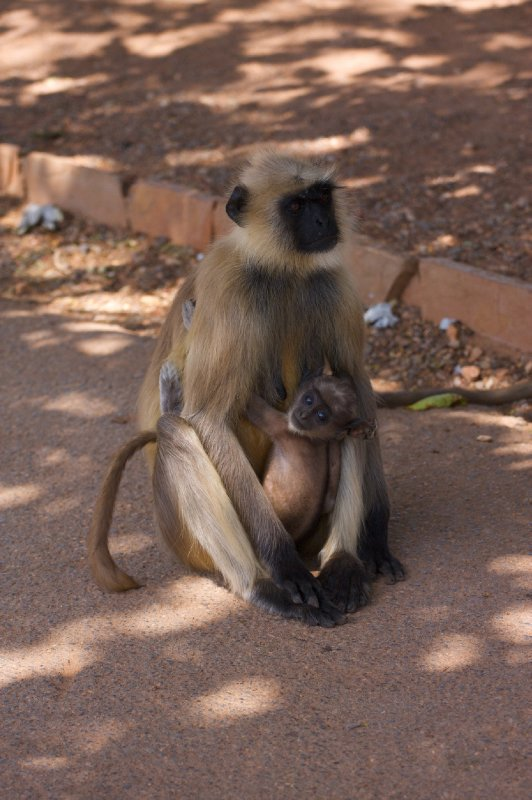 Monkey in Chittorgarh