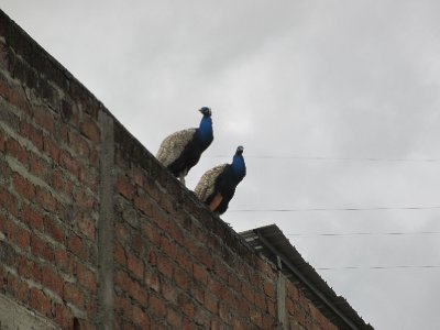Peacocks in Vilcabamba