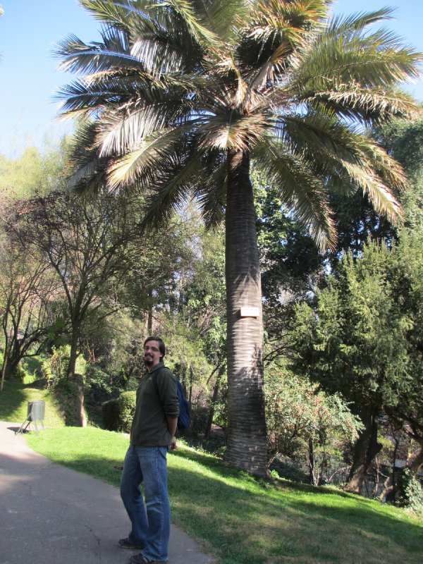 Huge Palm Tree in Santiago
