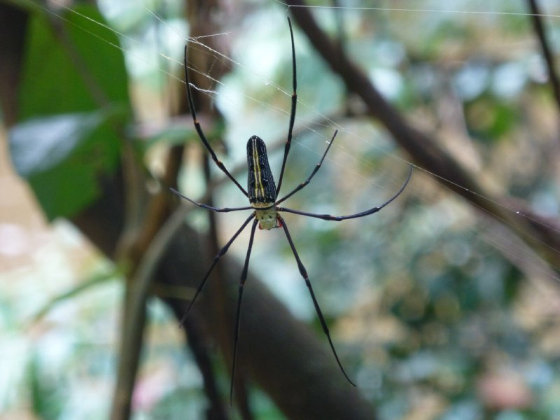 Spider at Angkor