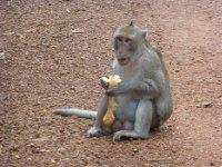 Monkey at Angkor Park