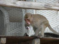 Monkey in Vietnam