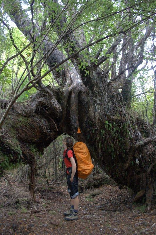 Huge Tree along Rakiura Track