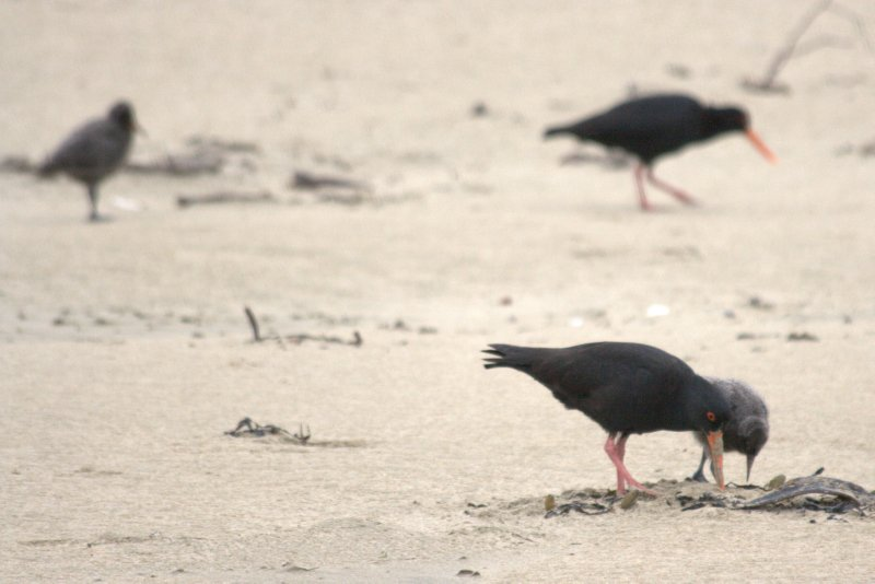 Oyster Catchers at Surat Bay