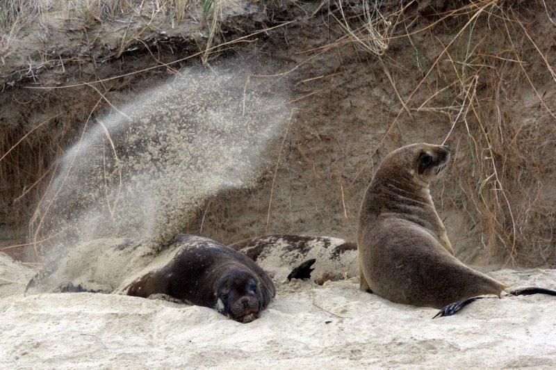 Sea Lions at Surat Bay