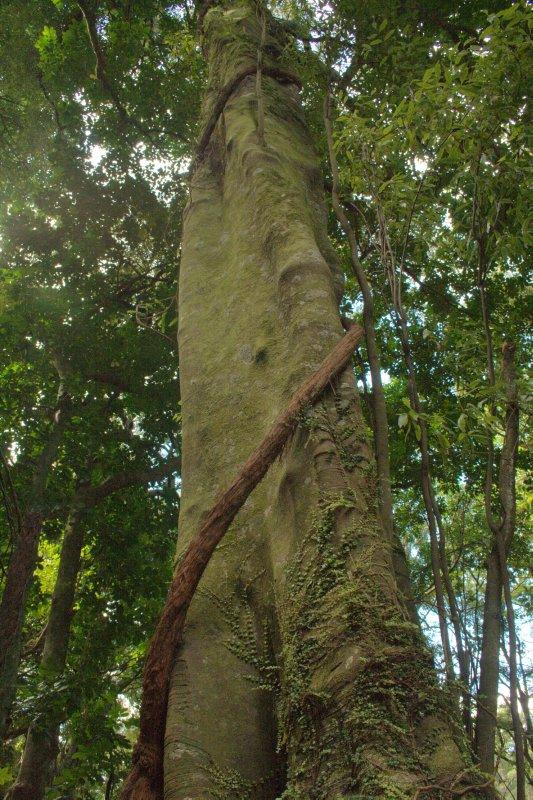 Tawa Tree with Rata Vine