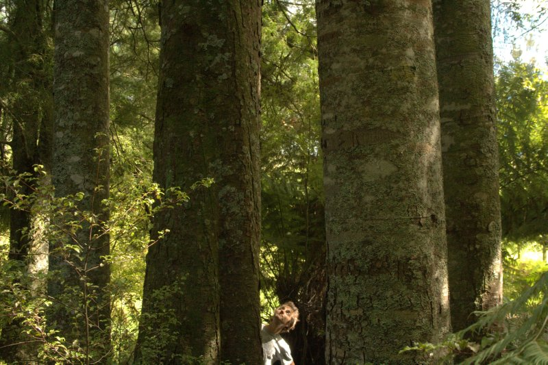 Huge Kahikatia Trees