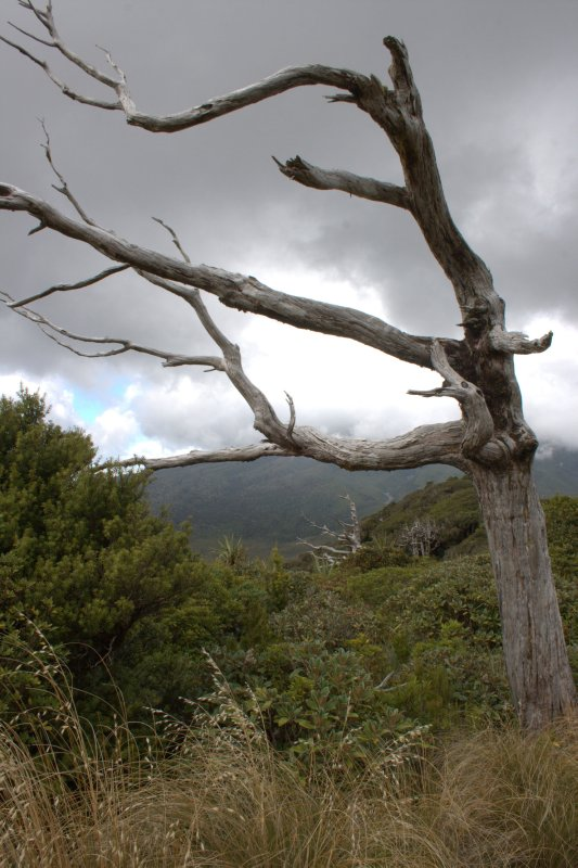 Mountain Cedar Killed by Possums