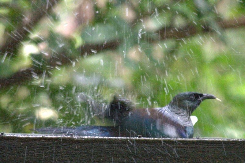 Tui in Birdbath