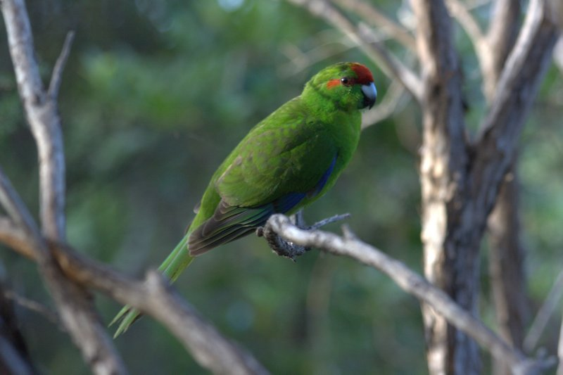 Kakariki (Red Crowned Parakeet)