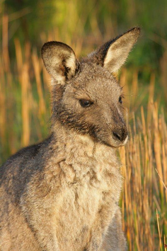 Kangaroo at Wilson's Prom NP