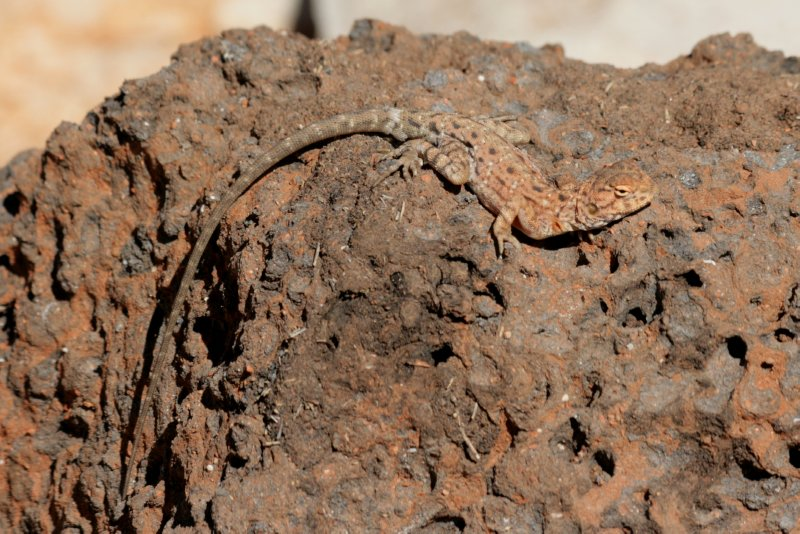 Yet Another Lizard Photo