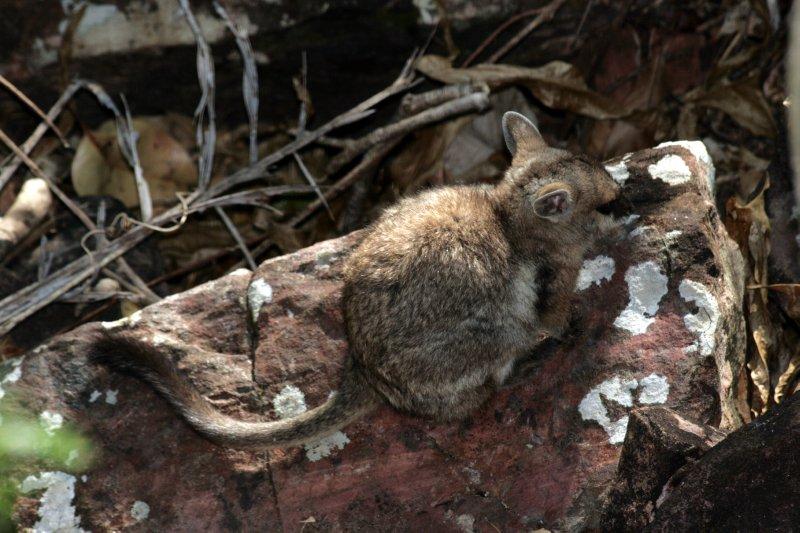 Short-Earred Rock Wallaby