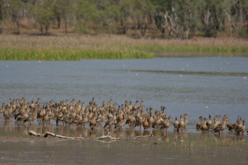 Whistling Ducks at Bird Billabong, Mary River NP