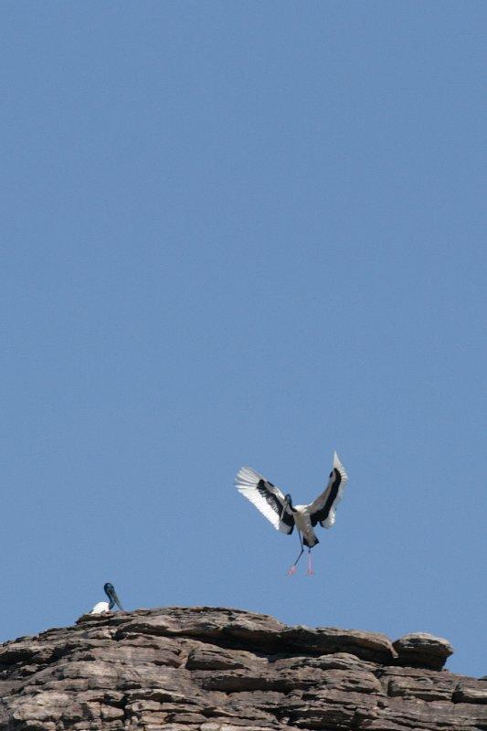Jabiru or Black-necked Stork along Bardedjilidj Walk