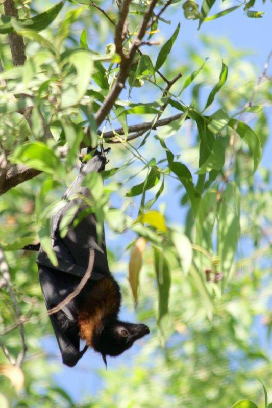 Black Flying Foxes in Gagudju