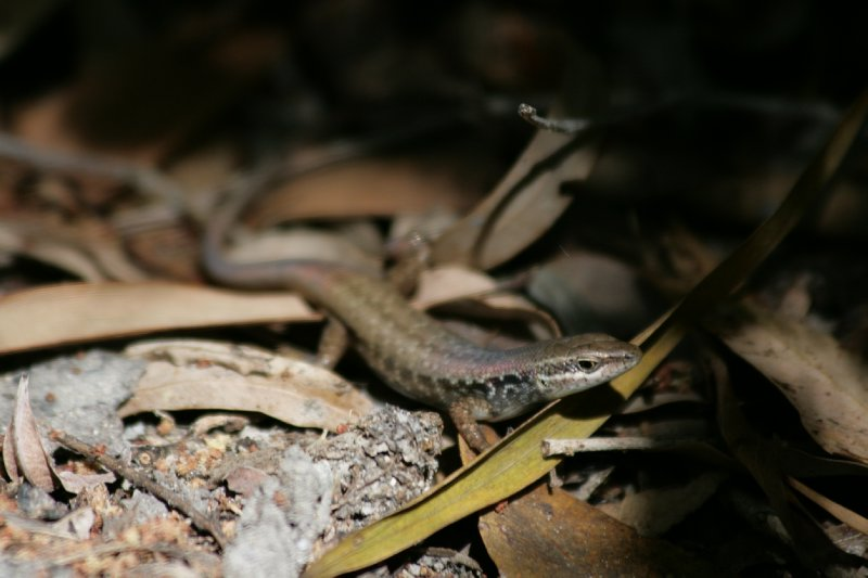 Skink along Cherry Tree Trail in Cooktown