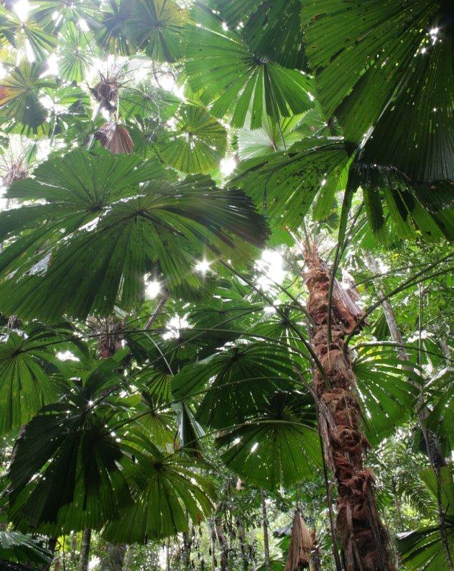 Fan Palms along Dubuji Boardwalk