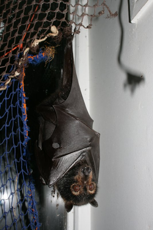Spectacled Flying Fox at The Bat House
