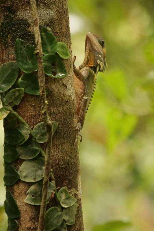 Boyd's Forest Dragon