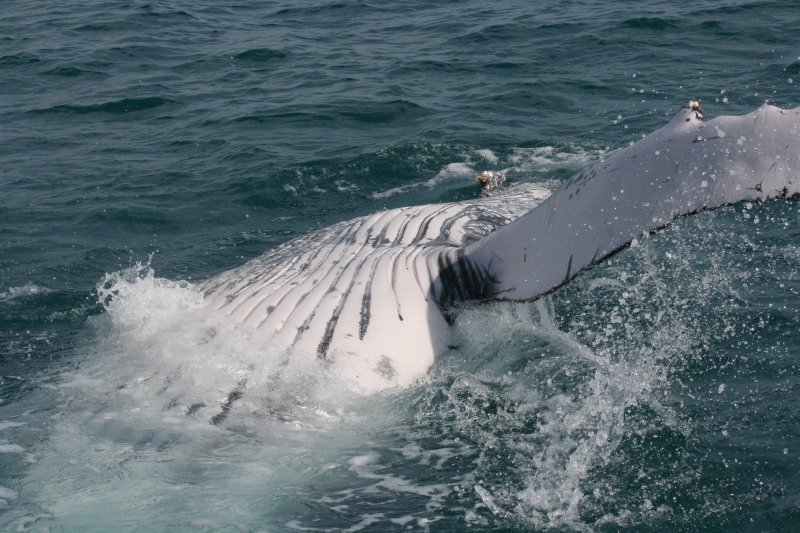 Humpback Belly
