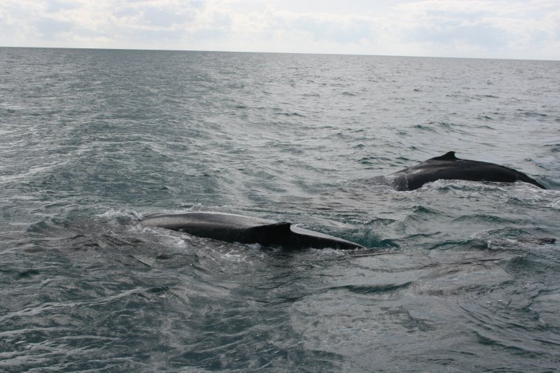 Pair of Humpback Whales near Agincourt Reef
