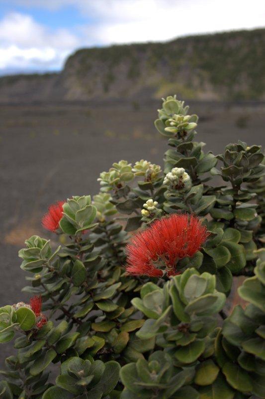 ohi'a lehua in Kilauea Iki Crater