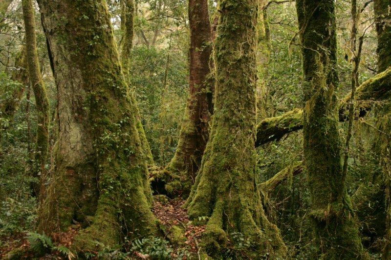 Antarctic Beech in Lamington NP