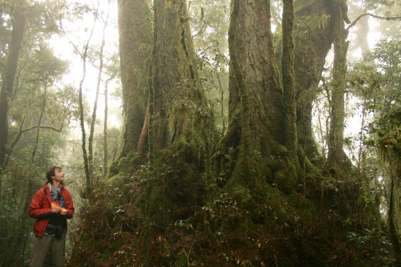 Antarctic Beech Tree Stemming from 2000 Year Ago in Lamington NP