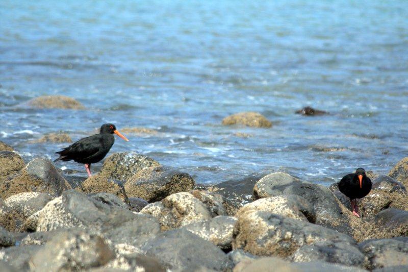 Oyster Catcher in Pohatu Marine Reserve
