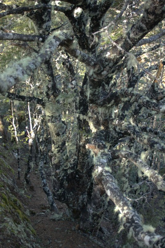 Silver Beech Trees Covered in Lichen