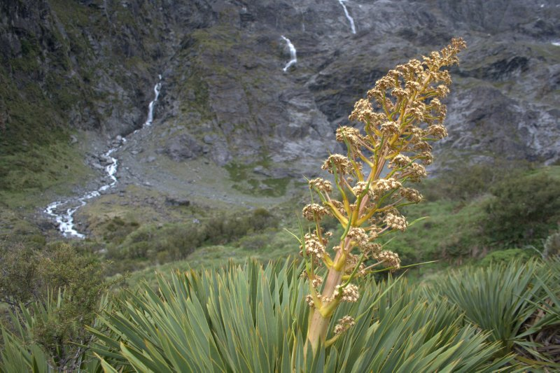 Alpine Plant - Spaniard