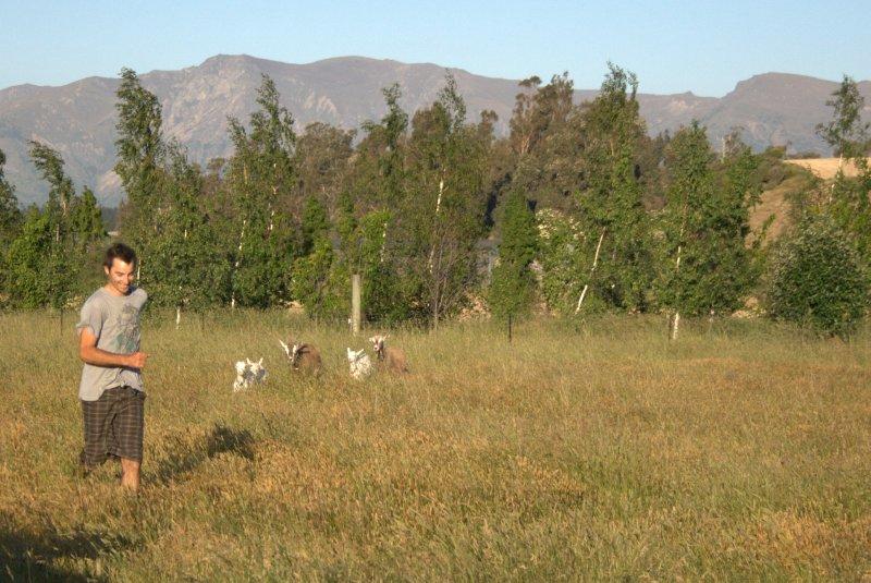 Rounding Up Goats